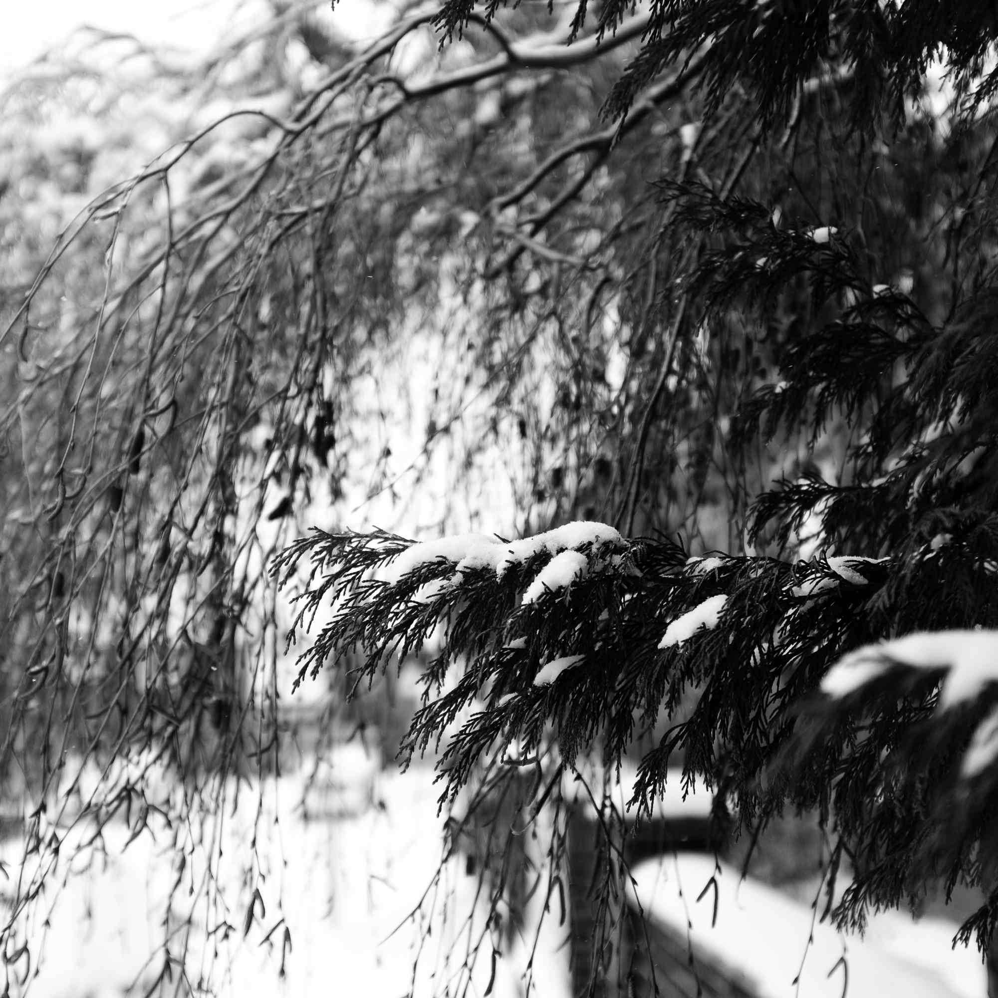 Tree branch covered in snow